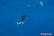 Atlantic sailfish, Istiophorus albicans ( considered by some to be a single species worldwide, Istiophorus platypterus ), investigates teaser bait, off Yucatan Peninsula near Contoy Island and Isla Mujeres, Mexico ( Caribbean Sea )