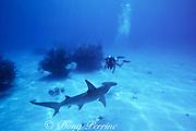diver and great hammerhead shark, Sphyrna mokarran (replica), Bahamas ( Western Atlantic )
