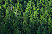 Douglas Fir Forest at Walker Pass in the Olympic National Forest of Washington State, USA