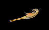 Fairy Shrimp - Branchipus schaefferi