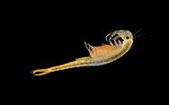 Fairy Shrimp - Branchipus schaefferi