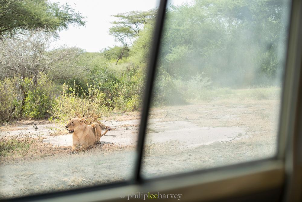 Nature photograph of a single lioness (Panthera leo) seen from a safari car window, Lake Manyara National Park, Tanzania