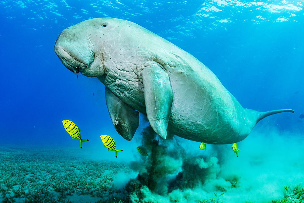 Dugong or Sea cow (Dugong dugon) feeding on seagrass (Halophila stipulacea) with commensal juvenile Golden trevally (Gnathanodon speciosus) in the Red Sea off Marsa Alam, Egypt.