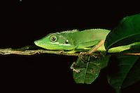 Agamid lizard (Bronchocela cristatella) resting on a slender branch at night.  Bohol Island, Philippines.