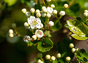 Macro close up hawthorn tree Crataegus monogyna bush flower buds and flowers