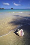 Conch shell (not native), Lanikai Beach, Oahu, Hawaii<br />