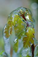 Rime ice on new growth leaves, gambel oak, New Mexico, © David A. Ponton