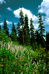 OR: Oregon; Crater Lake National Park, flora, Wildflowers and Conifer                 .Photo Copyright Lee Foster, lee@fostertravel.com, www.fostertravel.com, (510) 549-2202.Image orcrat223