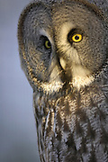Great grey owl (Strix nebulosa), close-up of head