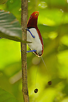 Male King Bird of Paradise on his display vine in the rain forest canopy..Alfred Russel Wallace made the first field study of this bird..