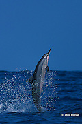 Hawaiian spinner dolphin, or nai'a, Stenella longirostris longirostris, aka Gray's or long-snouted spinner dolphin, jumping, Kona, Hawaii, USA ( Central Pacific Ocean )