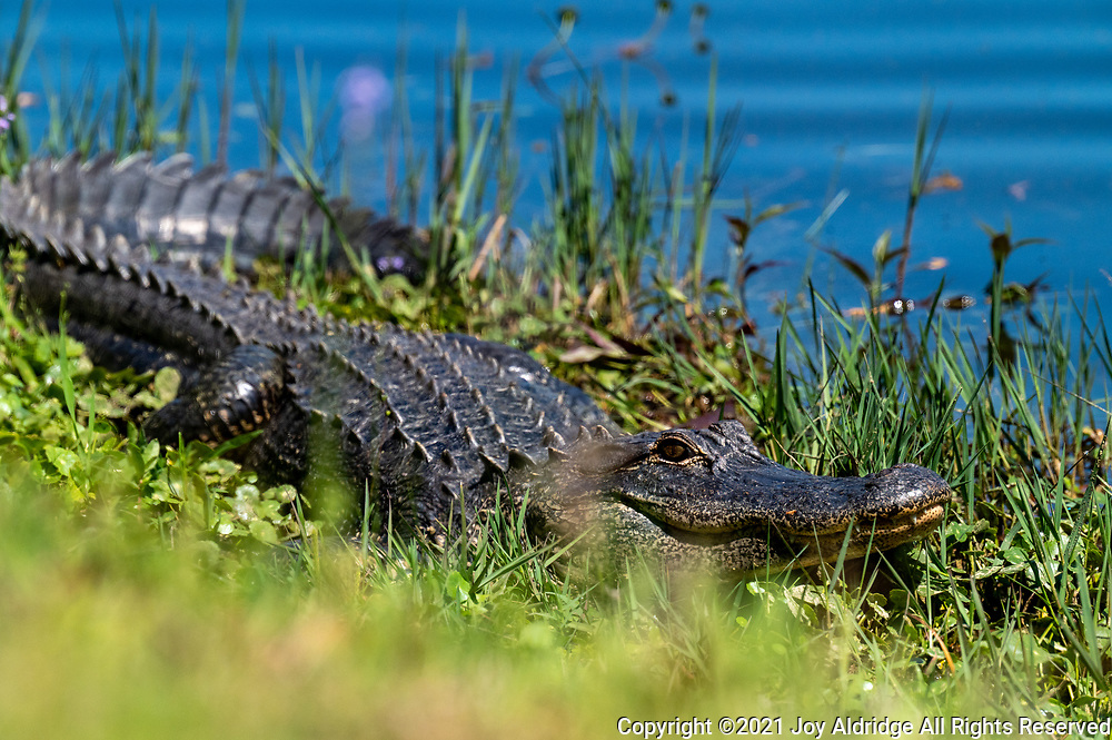 American Alligator in the grass by a pond at the Sea Pines Forest Preserve on Hilton Head Island, South Carolina. Image taken by Joy Aldridge with a NIKON Z 6_2 and NIKKOR Z 70-200mm f/2.8 VR S Z TC-2.0x at 400mm, ISO 1600, f8, 1/6400.