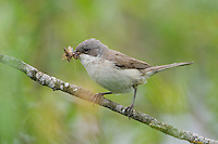 Lesser whitethroat (Sylvia curruca) adult with food for chicks. Lithuania. Mission: Lithuania, May 2009