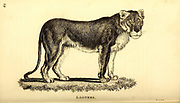 Lioness from General zoology, or, Systematic natural history Part I, by Shaw, George, 1751-1813; Stephens, James Francis, 1792-1853; Heath, Charles, 1785-1848, engraver; Griffith, Mrs., engraver; Chappelow. Copperplate Printed in London in 1800. Probably the artists never saw a live specimen
