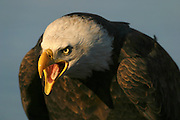 Alaska. Dutch Harbor / Unalaska .The Bald Eagle (Haliaeetus leucocephalus), also known as the American Eagle, is a bird of prey originating in North America, most recognizable as the national bird of the United States