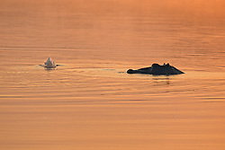 Hippopotamus At Surise