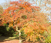 Japanese maple tree in autumn colour, Acer Palmatum, National arboretum, Westonbirt arboretum, Gloucestershire, England, UK