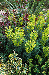 Euphorbia characias subsp. wulfenii with Euphorbia x martinii, Eleagnus, Photinia 'Red Robin' & Phormium