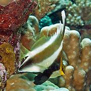 Pennant Bannerfish inhabit reefs. Pictue taken Palau.
