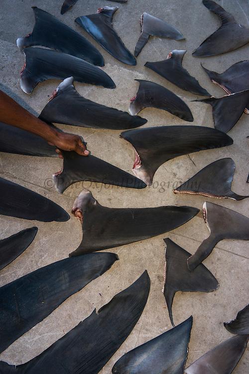 Shark fins commercial catch<br /> Quetzalito<br /> Guatemala<br /> Central America