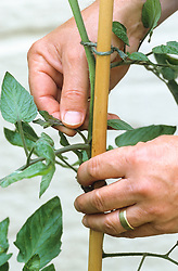 Pinching out tomato side shoots