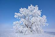 Hoarfrost covered Manitoba maple tree<br />Dugald<br />Manitoba<br />Canada
