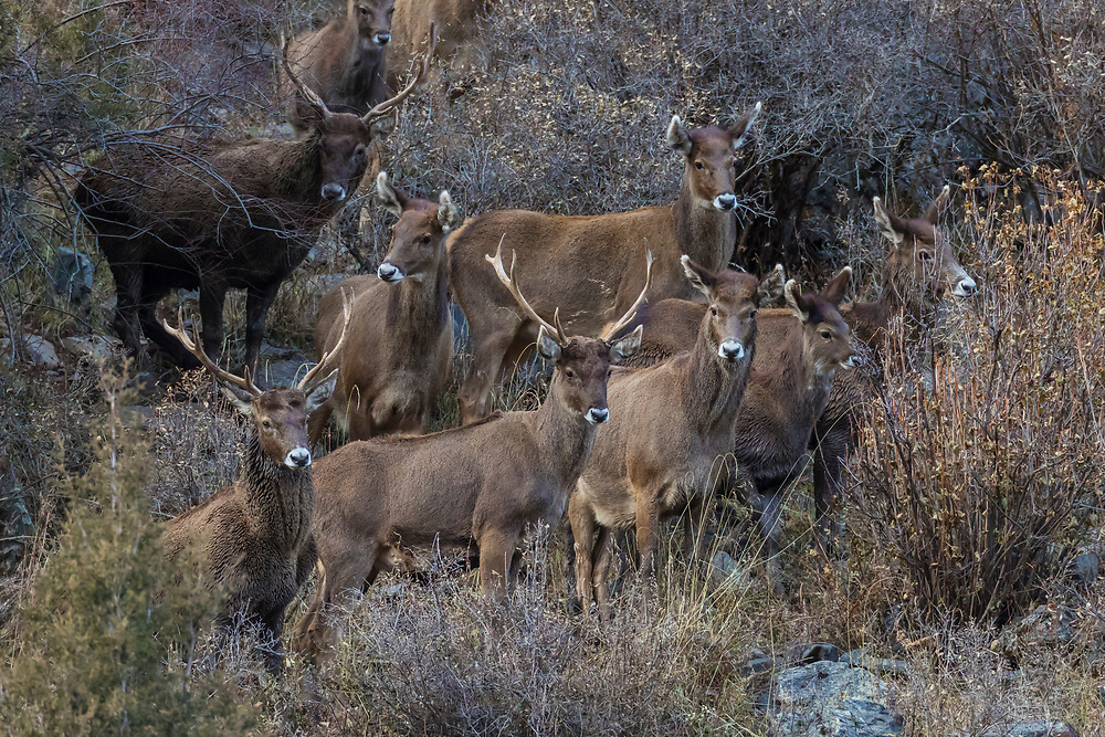 A herd of White-lipped deer also called Thorold's deer, Cervus albirostris, 白唇鹿, standing at the tibetan plateau in Serxu, Garze Prefecture, Sichuan Province, China