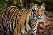 A curious wild Indian Bengal tiger (Panthera tigris tigris) portrait with open eyes,Bandhavgarh,Madhya Pradesh,India