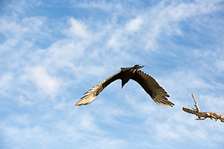 Vulture in flight against the sky in The Everglades