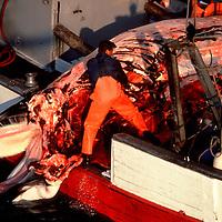 North Sea 1994 Norwegian whalers process Minke whale on board vessel.