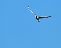 Black-headed Gull (Chroicocephalus ridibundus). Akureyri, Iceland. Image taken with a Nikon Df camera and 300 mm f/2.8 VR lens.