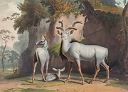 Koodoo or Kudu are two species of antelope of the genus Tragelaphus hand colored plate from the collection of  ' African scenery and animals ' by Daniell, Samuel, 1775-1811 and Daniell, William, 1769-1837 published 1804