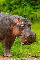 Hippo,  Queen Elizabeth National Park, Uganda.