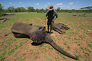 Tranquilized elephants being off-loaded by crane<br /> & capture team<br /> (Loxodonta africana)<br /> Elephants darted from helicopter to be relocated.<br /> Zimbabwe