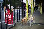 Two long haired Chihuahua dogs wait for their owner outside a convenience store in Wapping, London, UK. The little dogs have their leads attached to some railings.