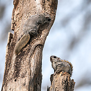 During the breeding season, male Japanese dwarf flying squirrels (Pteromys volans orii) sometimes confront one another, usually in the context of competition for a female. Here, the one above has just snuck up behind the individual below, which made a quick turn to look up at the intruder. The animal looking up was in the midst of enjoying a snack, the flowers of a Japanese alder (Alnus japonica) that are visible in his mouth. A frantic battle between the two males soon ensued.