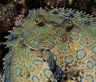 peacock flounder face in Bonaire