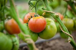 Tomato 'Berner Rosen'