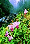 Bamboo Orchids (Arundina bambusifolia) in valley near stream on misty morning - Maui.