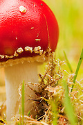 Closeup crop view of a young fly agaric fungus.