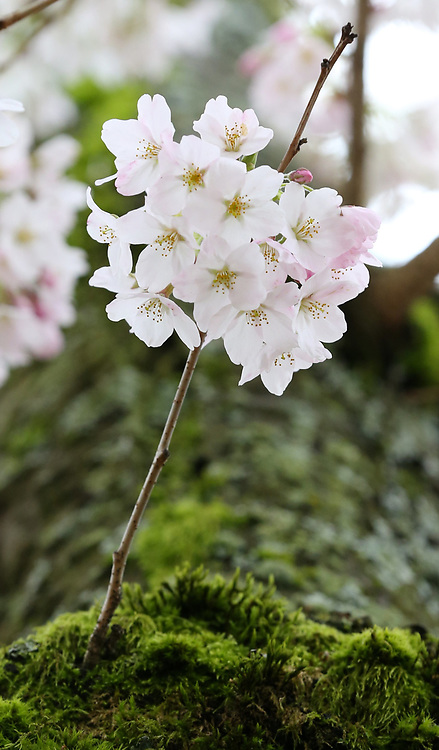The cherry blossoms at the University of Washington's Quad. (Ken Lambert / The Seattle Times)