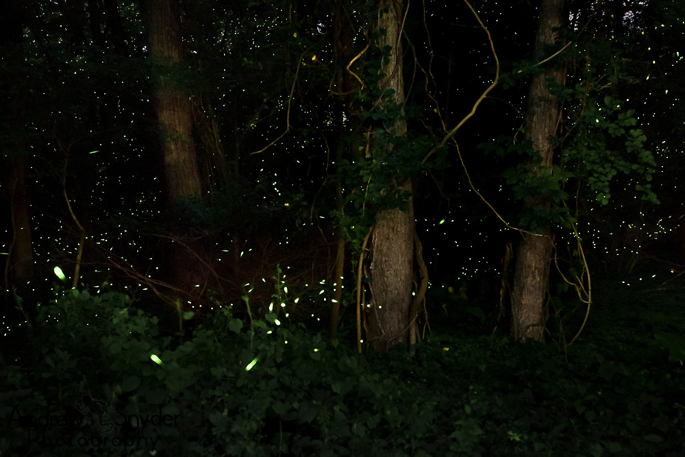 Fireflies putting on a display at night. Pikesville - Maryland