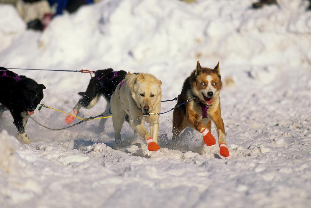 Alaska. Sled dogs in the Iditarod.