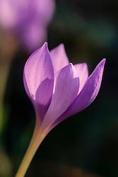 Crocus ligusticus, autumn flowering crocus