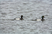 Greater scaup drakes swimming