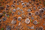 Torrey Pine cones (Pinus torreyana), Santa Rosa Island, Channel Islands National Park, California USA