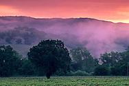 Morning fog along hills at sunrise over vineyard near Hopland, Mendocino County, California