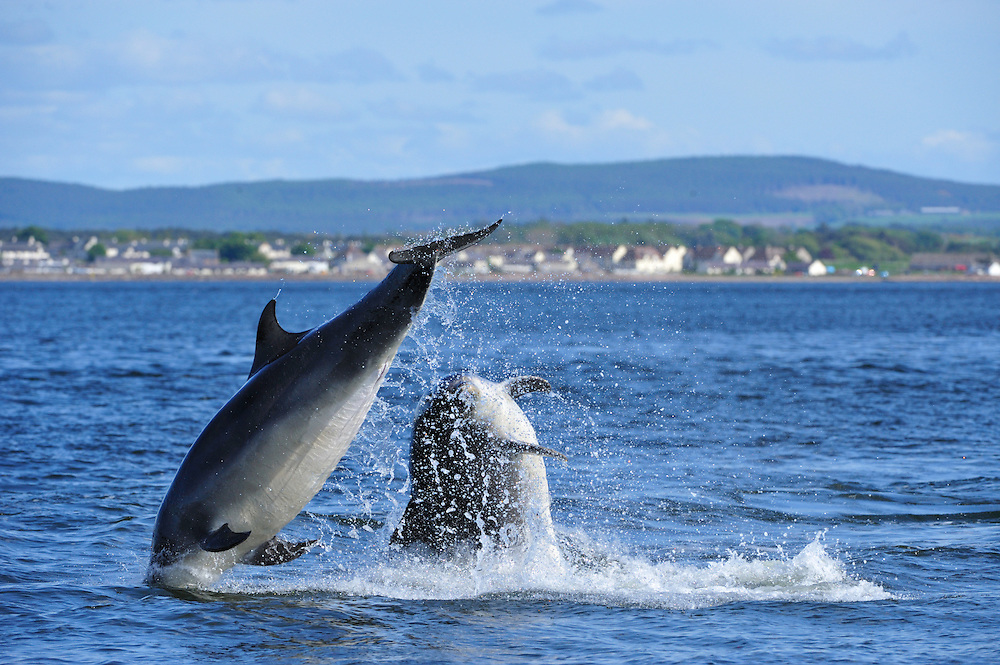 Pair of adult Bottle-nosed Dolphins breaching,<br /> Tursiops truncatus,<br /> Moray Firth, Nr Inverness, Scotland - May