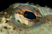 Close up abstract of the eye of a great weever fish (Trachinus draco) in an aquarium at a sea life centre in Rovinj Croatia