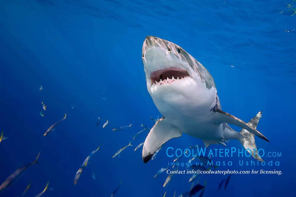 great white shark, Carcharodon carcharias, off Guadalupe Island, Mexico, East Pacific Ocean